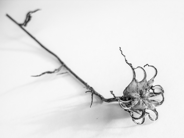 Dead flower head in black and white