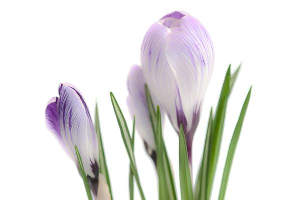 A crocus flower