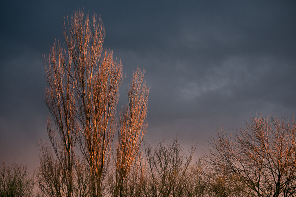 A Black Poplar lit by late afternoon sun against a foreboding sky.