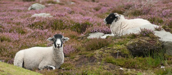Two Ewes on heather moors