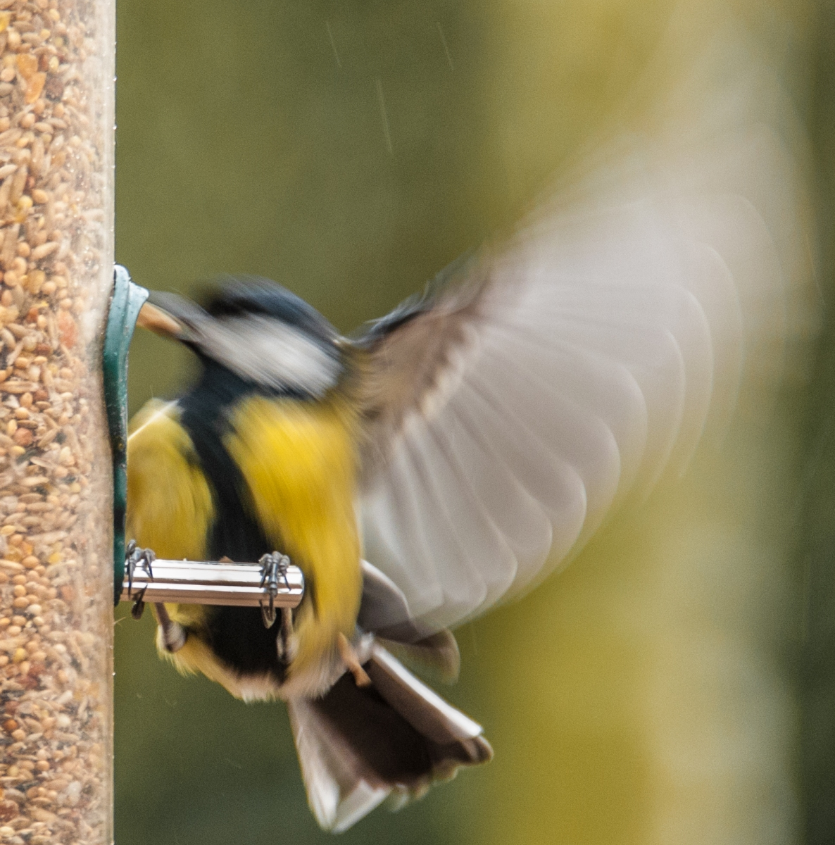 A Great Tit takes off with a peanut in his beak