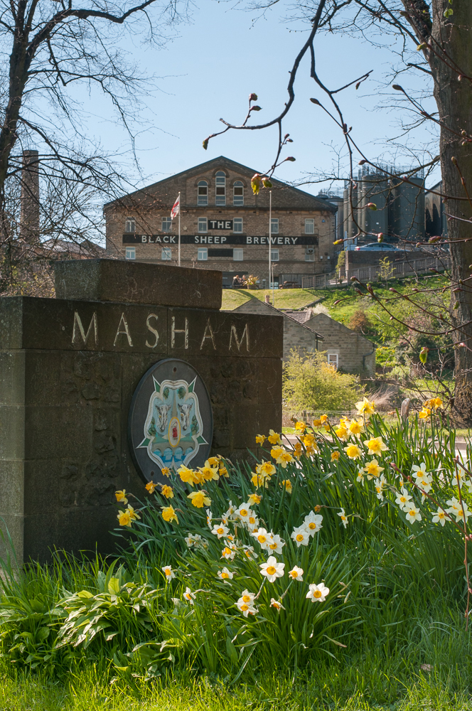 Flowering Daffodils in Masham North Yorkshire, UK