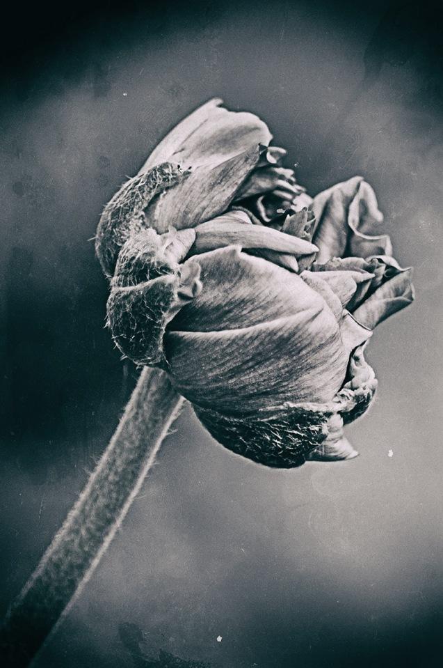 Unfurling petals
