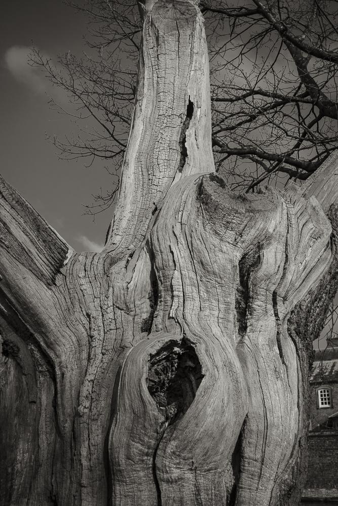 An ancient Oak Tree