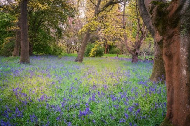 Bluebells at Thorp Perrow Arboretum