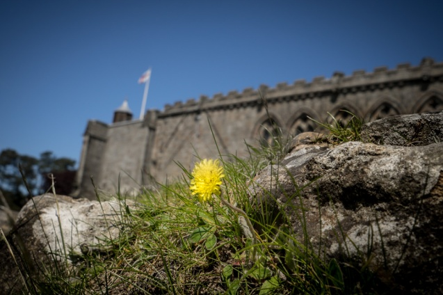 A view of a dandelion against  a backdrop of Bolton Abbey