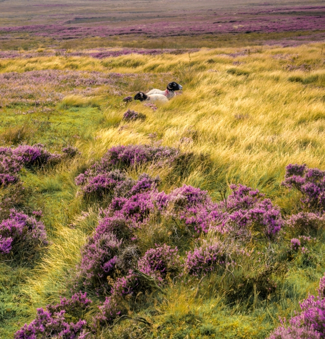 Sheep amongst heather