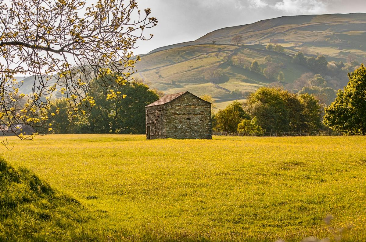 A Swaledale Field Barn in a Buttercup Meadow