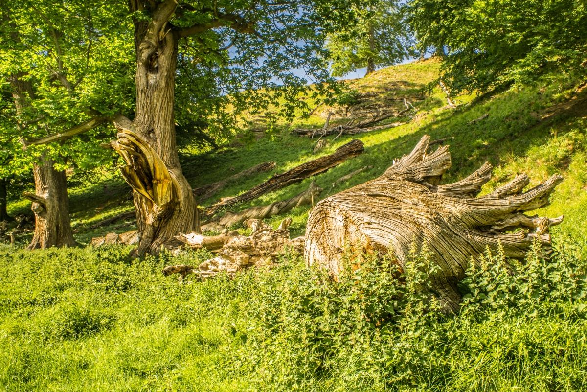 Aged Trees