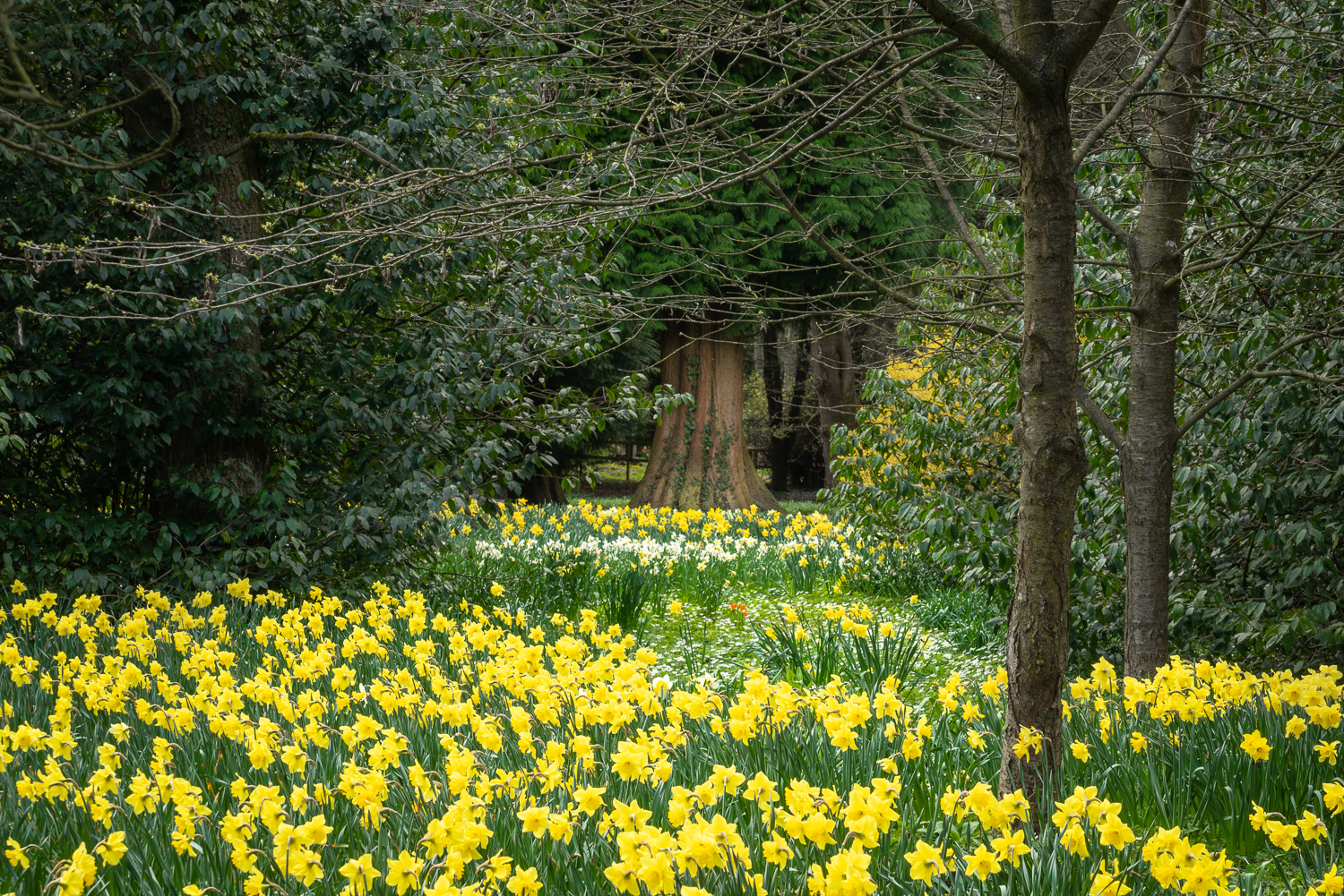 Daffodils at Thorp Perrow