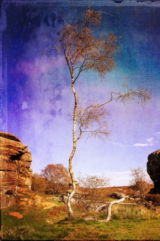 Twisted Birch at Brimham Rocks